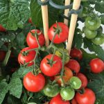 How to Grow Tomatoes in a Pot | Caring Tips | Kitchen Gardening 1