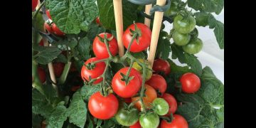 How to Grow Tomatoes in a Pot | Caring Tips | Kitchen Gardening 14