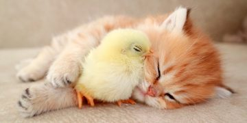 Kitten sleeps sweetly with the Chicken 🐥 1