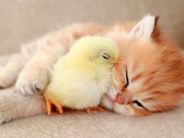 Kitten sleeps sweetly with the Chicken 🐥 3