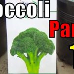How to Grow Broccoli From Seeds Part-1 (Urdu/hindi) 2017 1