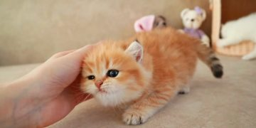 Funny Kitten wags its tail like a Puppy