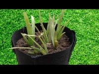 How to Grow Aloe Vera Plant Perfectly by Kitchen Gardening 10