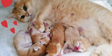 😍 Golden British Shorthair cat and her incredibly beautiful babies 7