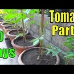Part-2 | How to Grow Tomatoes From Seeds | Winter Vegetable (Urdu/hindi) 1