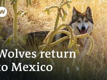Mexico: The return of 'los lobos' | Global Ideas