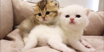 Fluffy Meowing kittens🥰 6