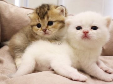 Fluffy Meowing kittens🥰 4