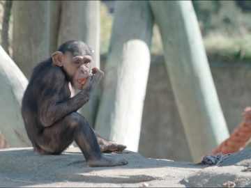 Chimps and Humans