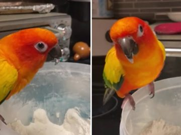 Parrot does happy dance after tasting flour