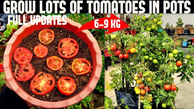 How To Grow Tomatoes At Home (SEED TO HARVEST) 1