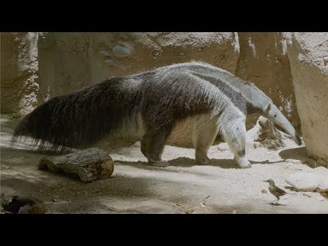 A Day in the Life of Giant Anteaters at Reid Park Zoo