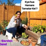 Our Tomato plants are Finished Now because of 😢|Kitchen or Vegetable Garden| The Sangwan Family 1