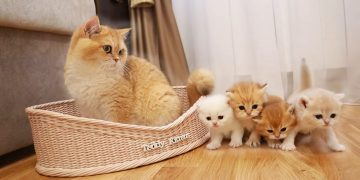 Cat Akai MEETS his small sisters and brothers 🐈 4