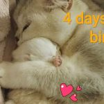 ♥️ 4 Days After Birth | British Shorthair kitten | Cuteness | Video 2019