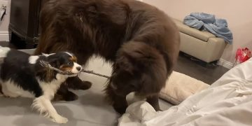Newfie and Cavalier's boisterous playtime is a sight to see