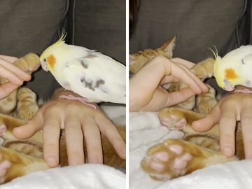Cat reluctantly pets cockatiel on the head