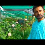 Expert briefing on Rose Plant Care | Detail Informative Talk on Desi and English Rose 2