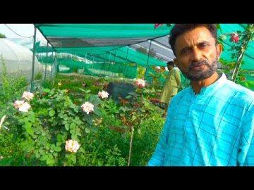 Expert briefing on Rose Plant Care | Detail Informative Talk on Desi and English Rose 15
