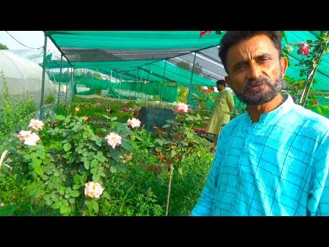 Expert briefing on Rose Plant Care | Detail Informative Talk on Desi and English Rose 1