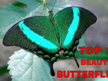 Top 10 Most Beautiful Butterflies In The World
