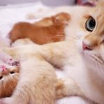 12th day after birth | Anabel's kittens | British Shorthair