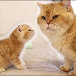 Kitten Muffin MEETS his dad William | So Adorable