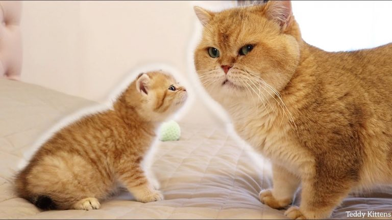 Kitten Muffin MEETS his dad William   So Adorable