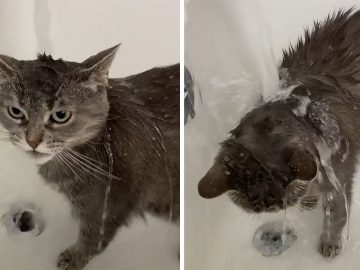 Very unique cat absolutely loves to take showers