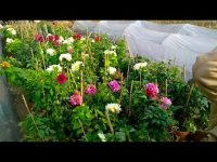 How to Grow Indian Dahlia 2