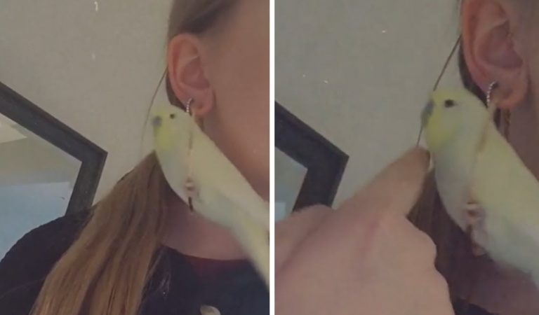 Parrot uses owner's earrings as personal swing toy #shorts