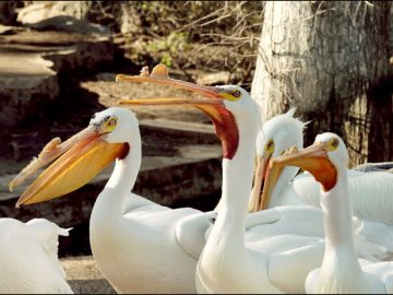 Big Lake Pelicans at San Antonio Zoo