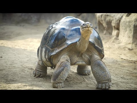 Wallace the Galapagos Tortoise Gets Physical Therapy