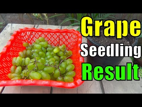 693# How to Grow Grapes From Seeds | Don't Try in Winter Season (Urdu/hindi) 1