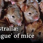 'Plague' of mice ravages New South Wales | DW News