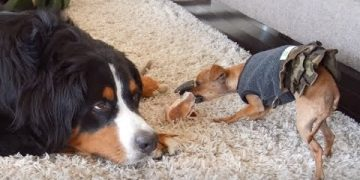 Frustrated dog loudly complains about sharing with Chihuahua puppy