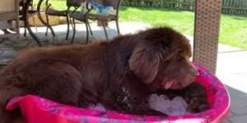 Newfoundland chills out in pool of ice
