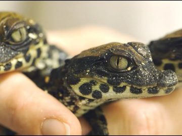Baby West African Dwarf Crocs Hatch