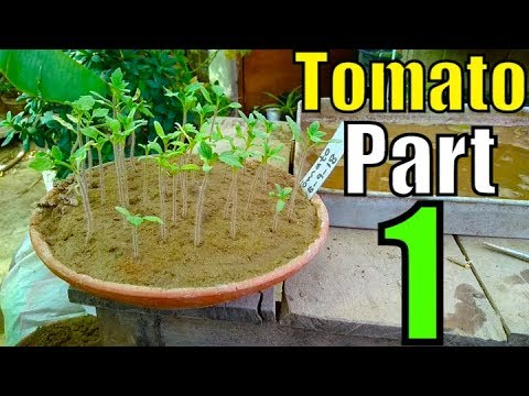 How to Grow Tomatoes From Seed | Part-1 (Winter Season 2018) 1