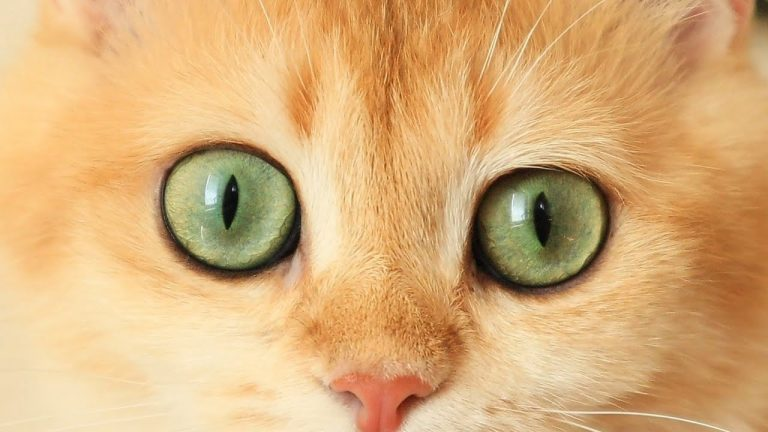 The eyes of my British Shorthair cats 👀 1