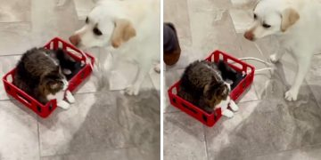 Dog pulls cat around the house on homemade indoor sleigh
