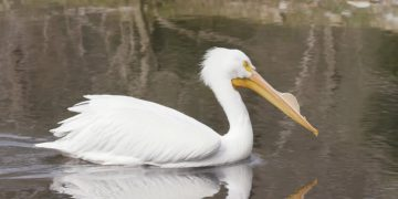 Pelican visitor at the Baton Rouge Zoo
