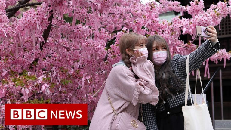 Japanese cherry blossom festival hit by Covid restrictions - BBC News