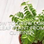 How To Grow Curry Leaf Plant From Cuttings // Using Rooting Hormone// Kitchen Gardening Ideas. 3