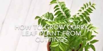 How To Grow Curry Leaf Plant From Cuttings // Using Rooting Hormone// Kitchen Gardening Ideas. 12