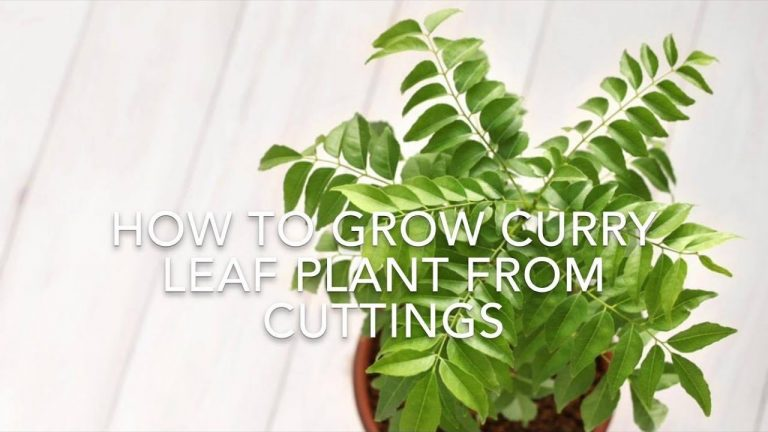 How To Grow Curry Leaf Plant From Cuttings // Using Rooting Hormone// Kitchen Gardening Ideas. 1