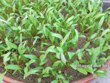 How to Grow Spinach (Palak) at Home Kitchen Gardening | Growing Spinach | Village Food Secrets 30