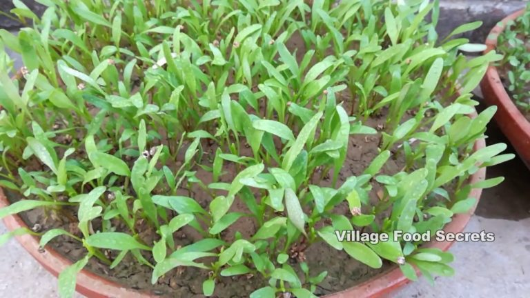 How to Grow Spinach (Palak) at Home Kitchen Gardening | Growing Spinach | Village Food Secrets 1