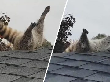 Raccoon Freed From Roof After Getting Stuck With Legs Out