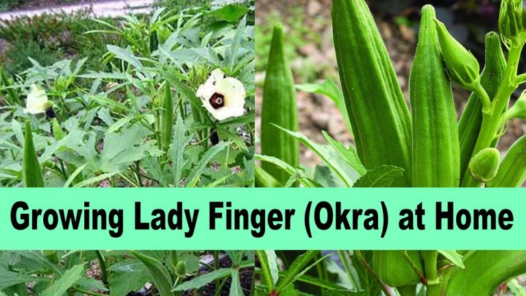 Ladyfingers/Bhindi Kitchen Gardening, Okra Growing At Home Care and Tips 1
